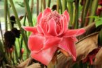 Discovering the Torch Ginger Flower