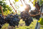 Drink Sustainably with Organic Wine